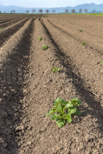 Fresh plowed field of potatoes crops in the spring, with sprouts