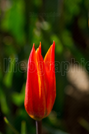Fresh tulip of orange color