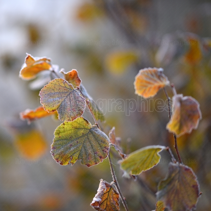Frosty leaves in the forest