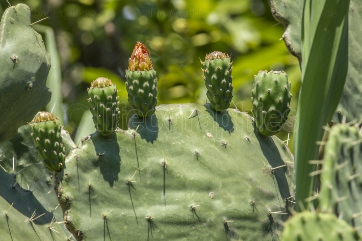 Fruit and flower of prickly pear