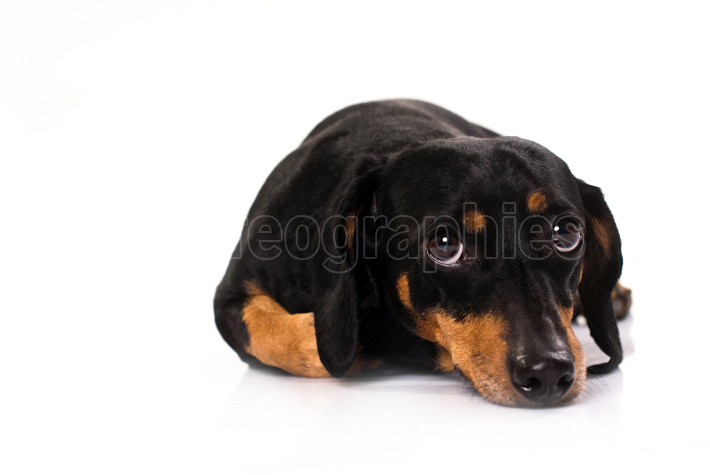 Funny dog from breed Dachsund