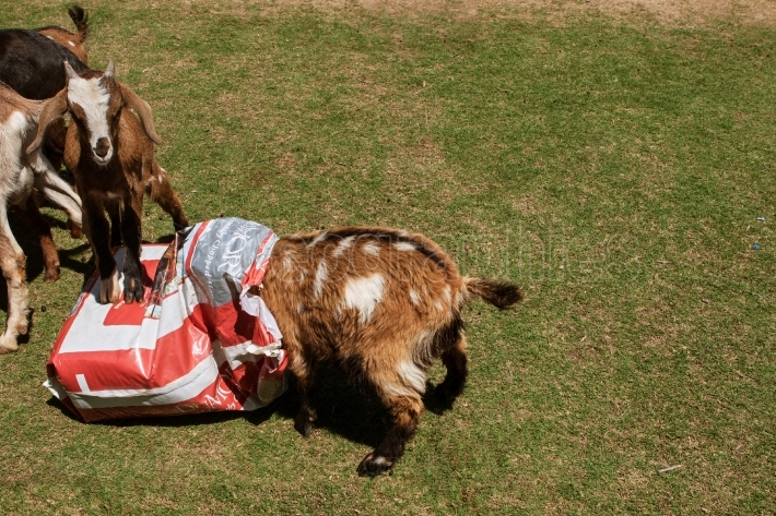 Goat Buries Entire Head In Bag Of Feed At Event