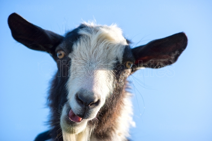 Goat make a funny face