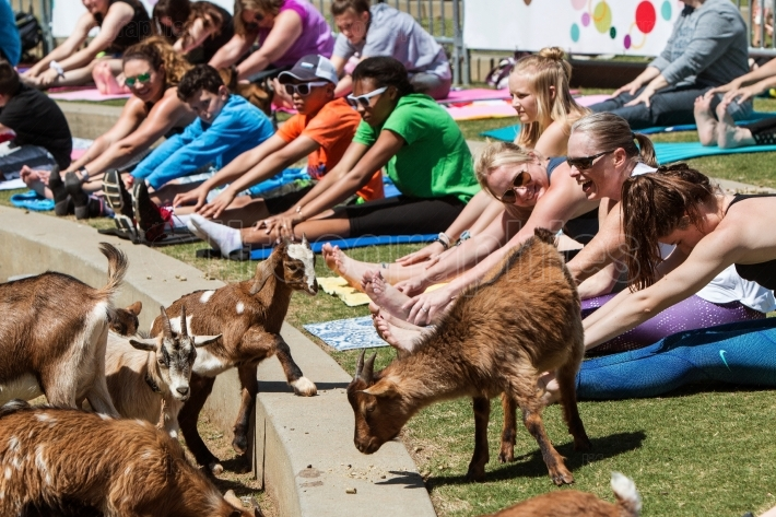 Goats Walk Among People Stretching At Goat Yoga Class