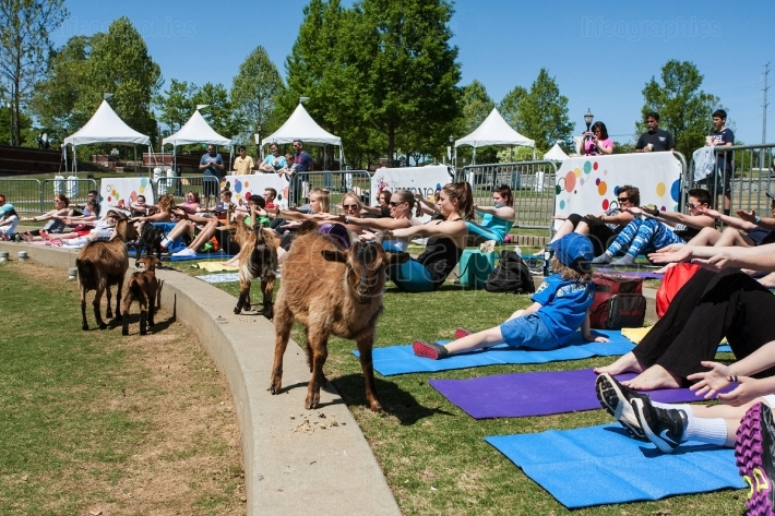Goats Walk Among People Stretching At Goat Yoga Event