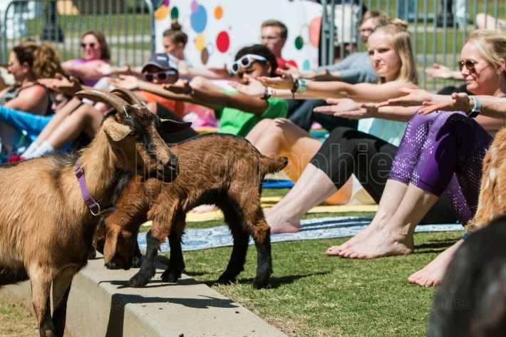 Goats Wander Among People Stretching In Outdoor Goat Yoga Class