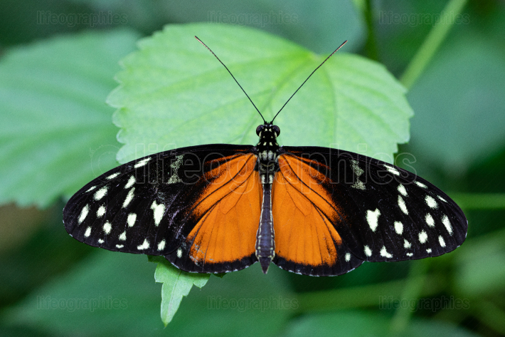 Golden longwing, Heliconius hecale