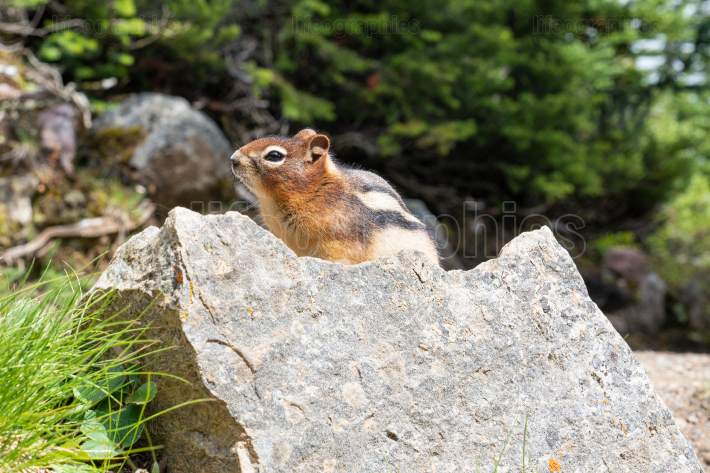 Golden mantled Ground Squirrel, Callospermophilus lateralis