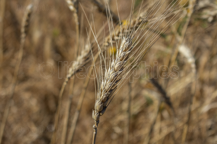 Golden wheat spike closeup ready for harvest growing in a field