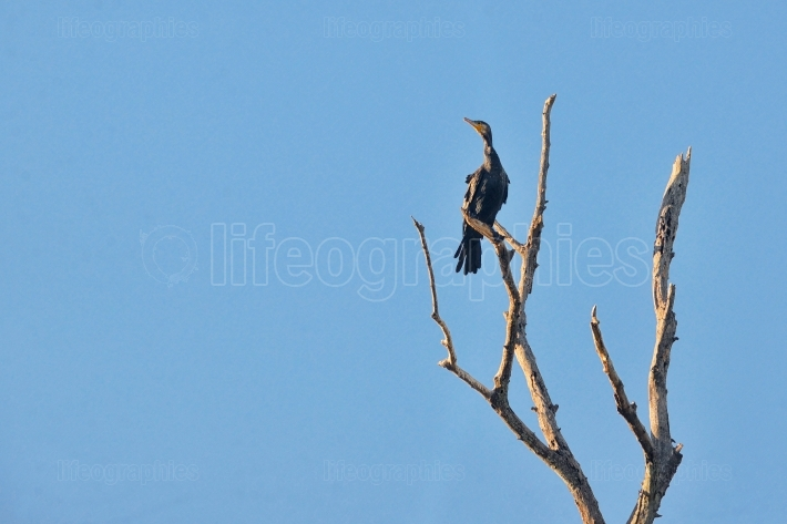 Great cormorant (Phalacrocorax carbo) on brunch