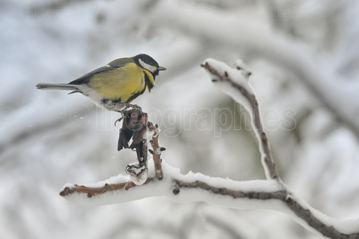 Great Tit In Winter