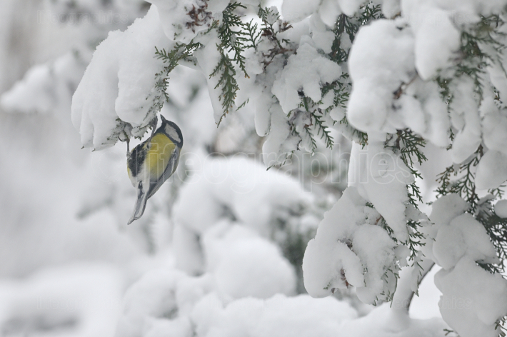 Great Tit On Brunch In Winter
