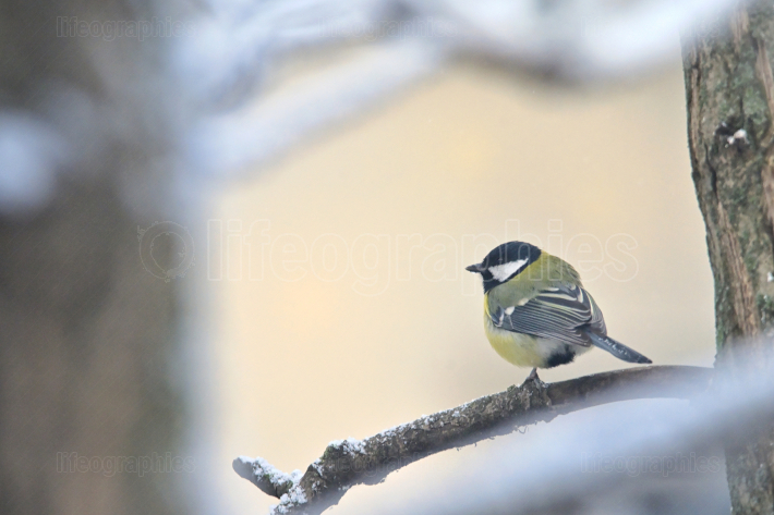 Great Tit Sits On  Branches