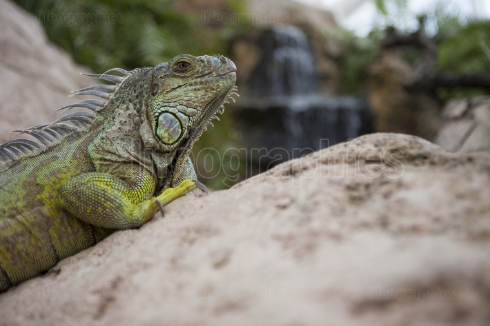 Green iguana on the rocks