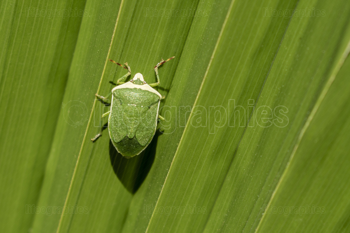 Green insect on green big leaf
