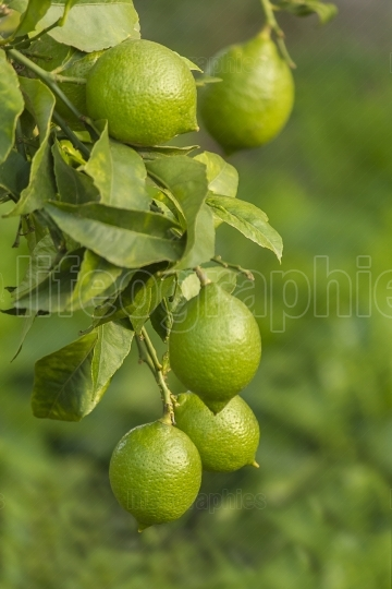 Green lemon Branche