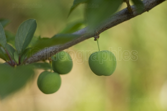 Green Plums on the tree