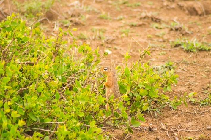 Ground squirrel in the savannah in Amboseli Park