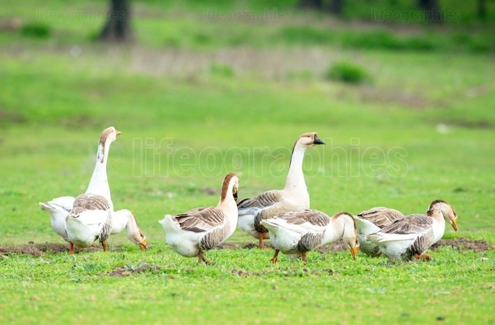 Group of domestic goose (Anser  domesticus) in meadow