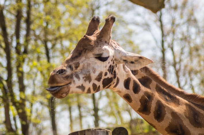 Head of a giraffe with blue tongue out in an animal park
