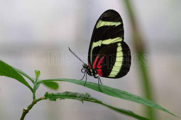Hewitsons longwing, Heliconius hewitsoni