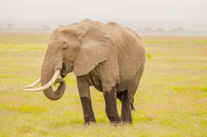 Huge elephant isolated on the trail in the savannah of Amboseli