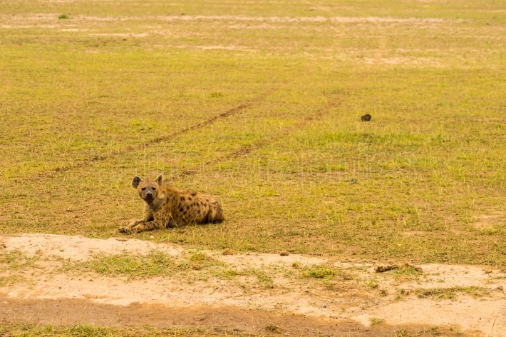 Hyena isolate in the savannah plain of Amboseli