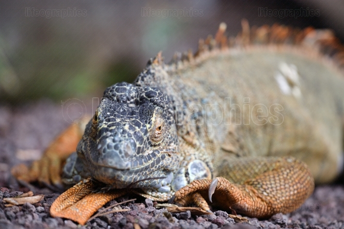 Iguana portrait outdoor