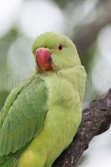 Indian Ring necked Parakeet