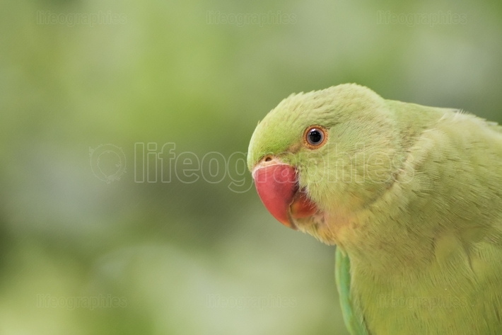Indian Ring-necked Parakeet close-up