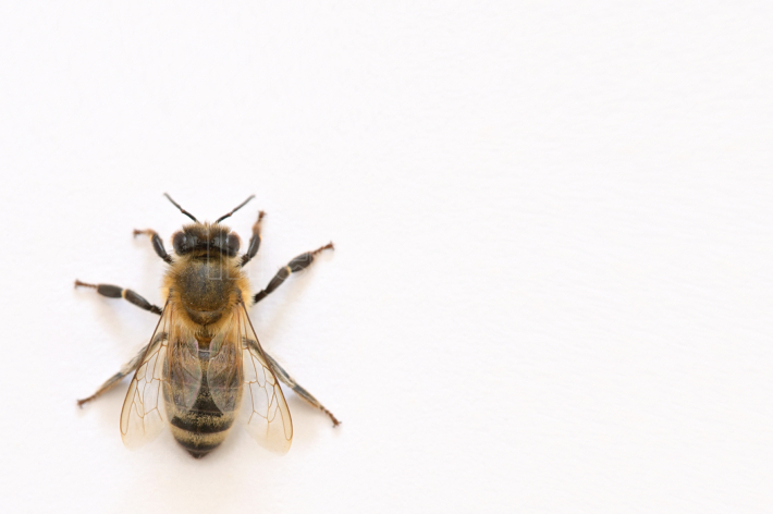 Isoalted Bee on White Background