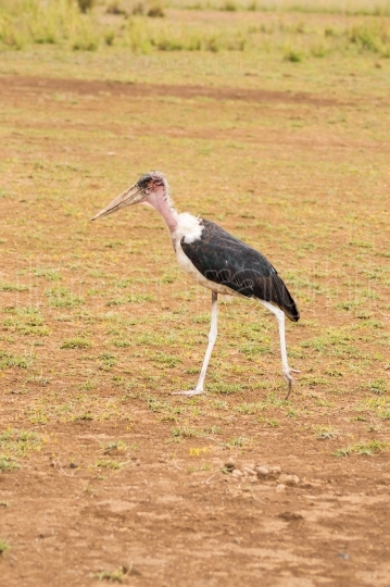 Isolated Marabou walking in the savannah plain of Amboseli