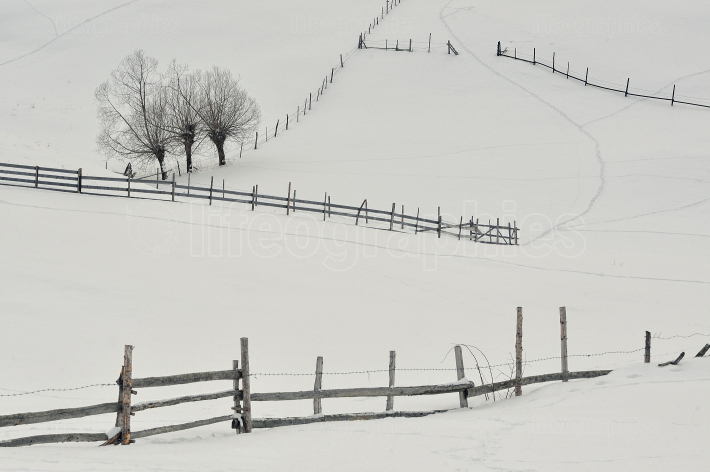 Isolated Trees And Fence On Snow