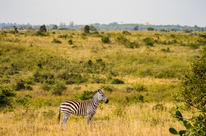 Isolated zebra in the savannah countryside of Nairobi Park