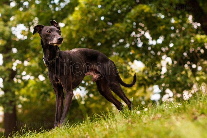 Italian greyhound in nature