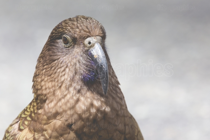 Kea, worlds only alpine parrot only found in New Zealand