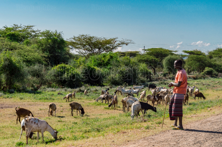 Kenya 2019 year  janvier 2 Masai shepherdess with goats