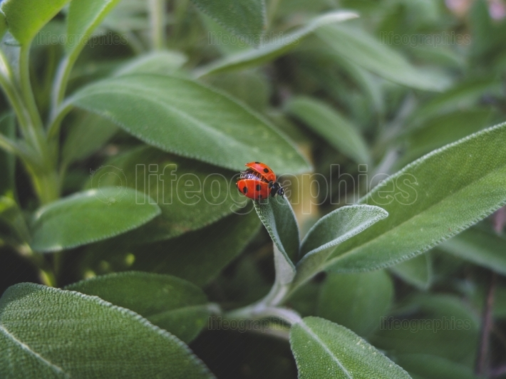 Ladybug on the sage