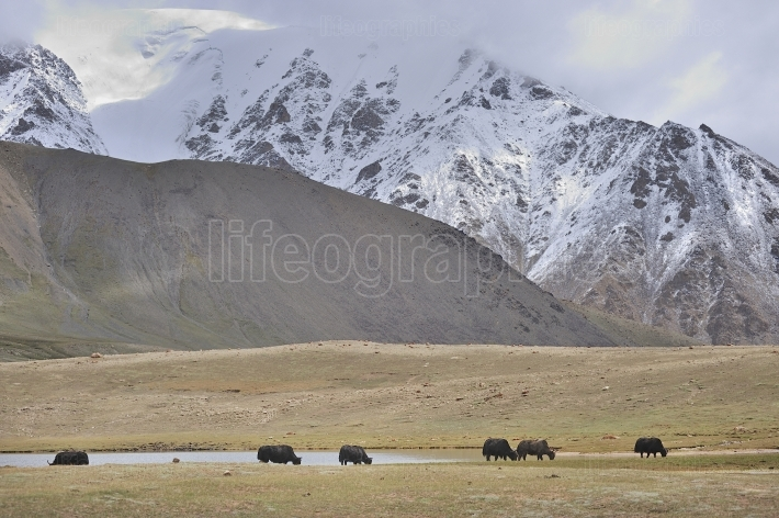 Landscape with yaks and snow  from karakoram mountains