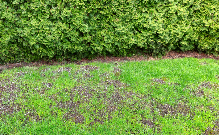 Large repair patch on natural grass lawn