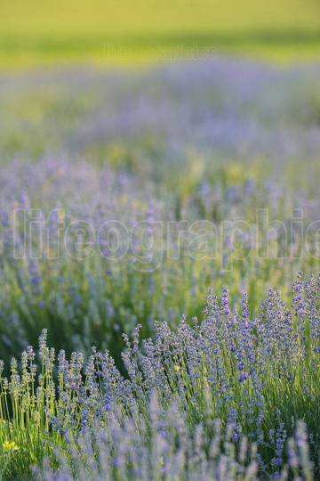 Lavander Flowers On The Field