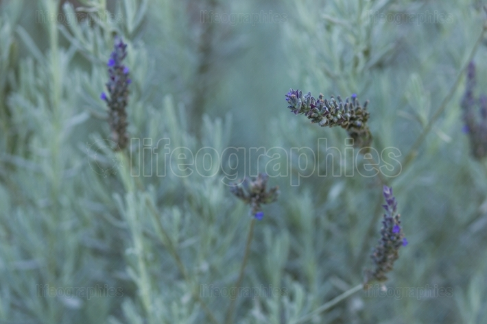 Lavender flower closeup on blurred background