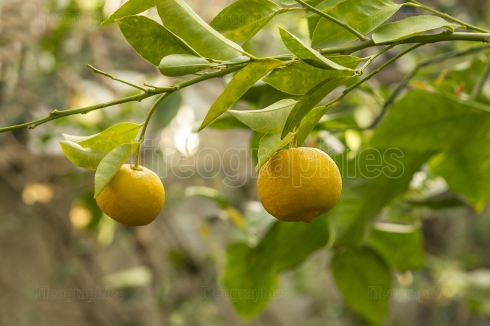 Lemon Fruits On the Tree