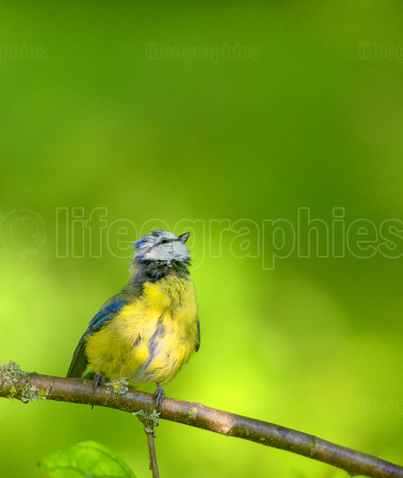 Little blue tit sitting on a branch