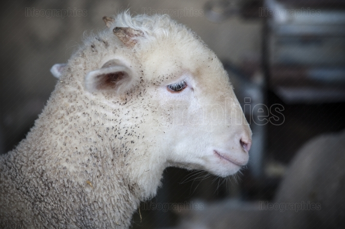 Little ram of merina sheep pure breed at barn, Extremadura, Spai