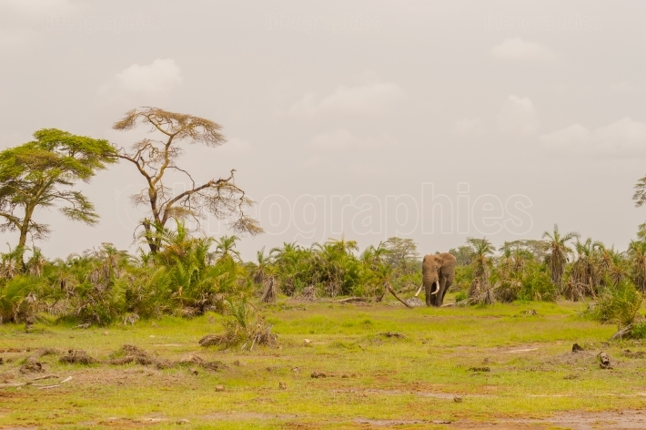 Lonely elephant in a palm oasis