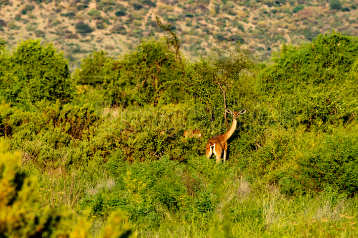 Lonely giraffe antelope grazing in the savannah
