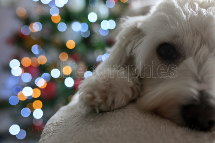 Maltese dog and Christmas lights