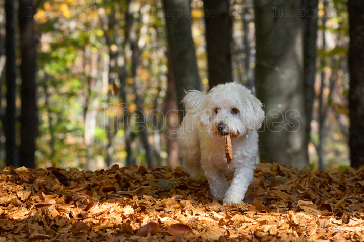 Maltese Dog In Autumn Forest