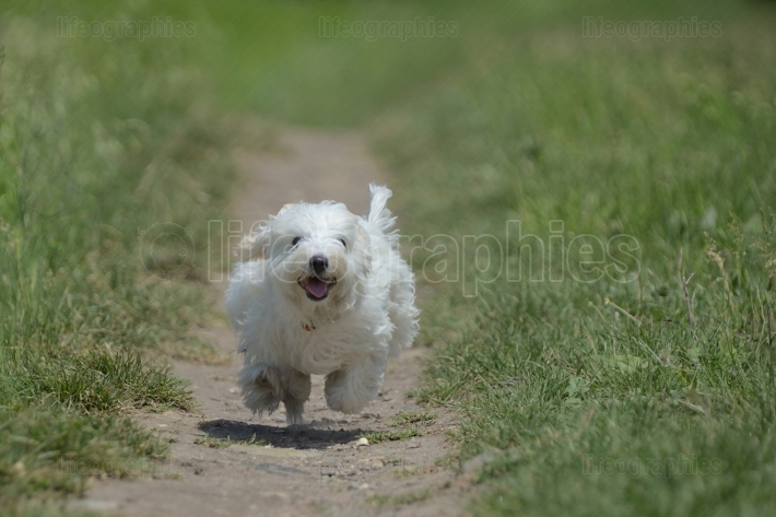 Maltese dog running and jumping